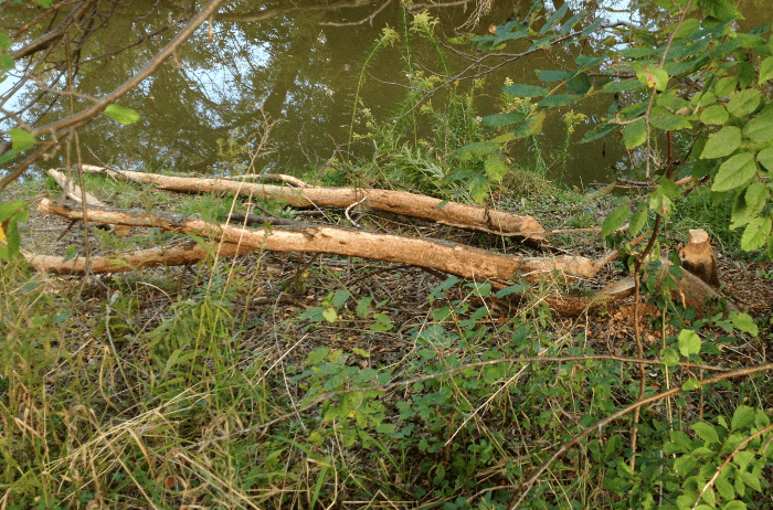 Bark Scraped from Downed Tree by Beaver