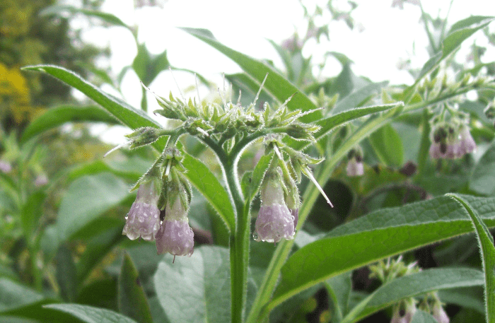 Pink bell flowers, hanging, with raindrops, from the side