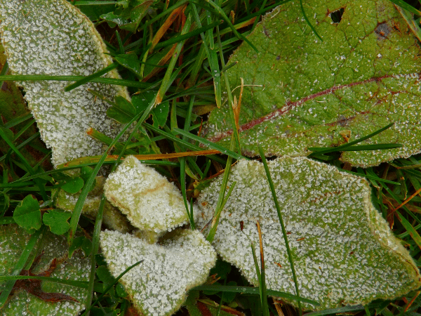 frost-on-weed