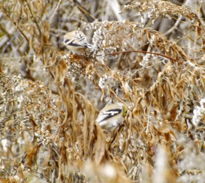 goldfinch-feeding-on-goldenrod