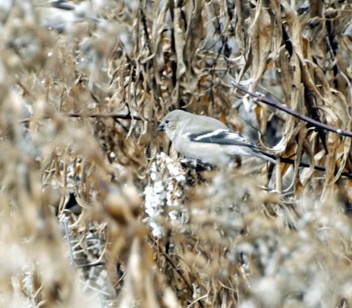 goldfinch-on-goldenrod-autumn