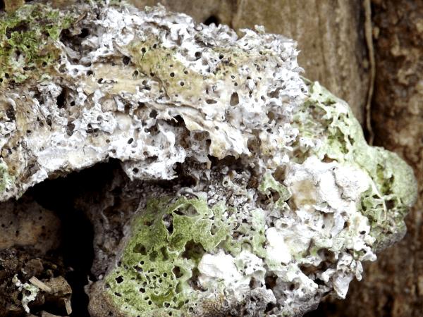 green-fungus-looks-like-pumice