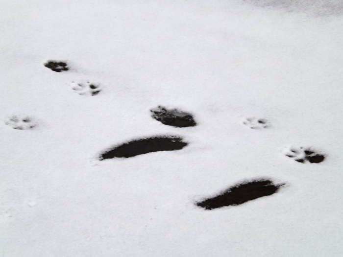 animal-tracks-left-feet-slipped-on-ice