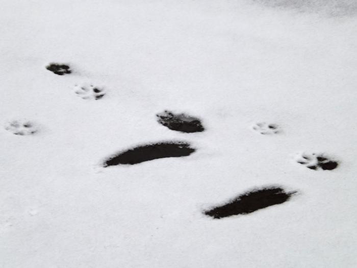 animal-tracks-left-feet-slipped-on-ice