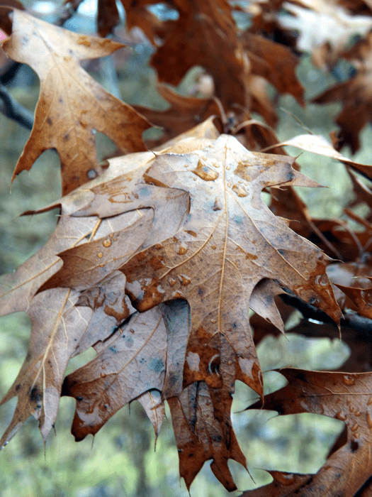 oak-leaves-raindrops-winter