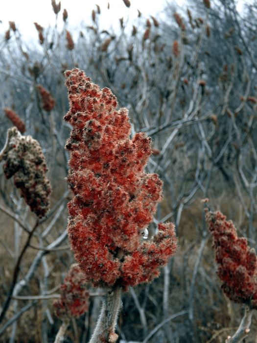 stag-horn-sumac-red-raindrop