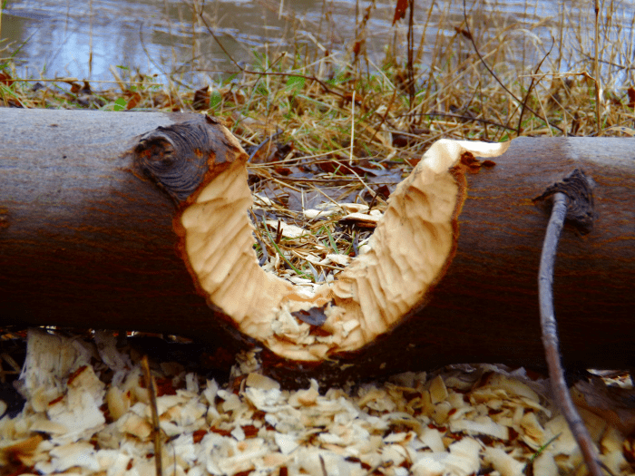 tree-nearly-eaten-through-beaver-chewing