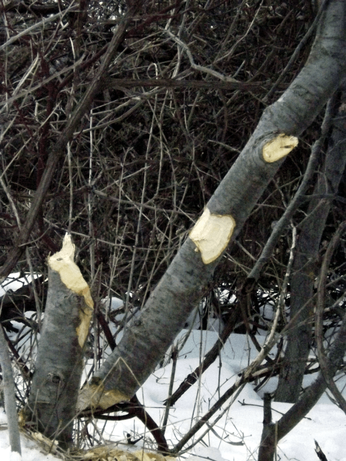 busy-beavers-new-chopped-tree