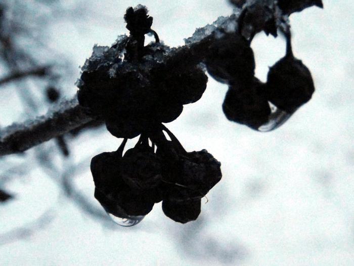 dark-blue-berries-rain-snow