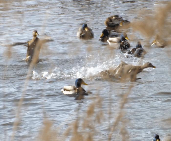 ducks-mischief-splashing-on-winter-pond