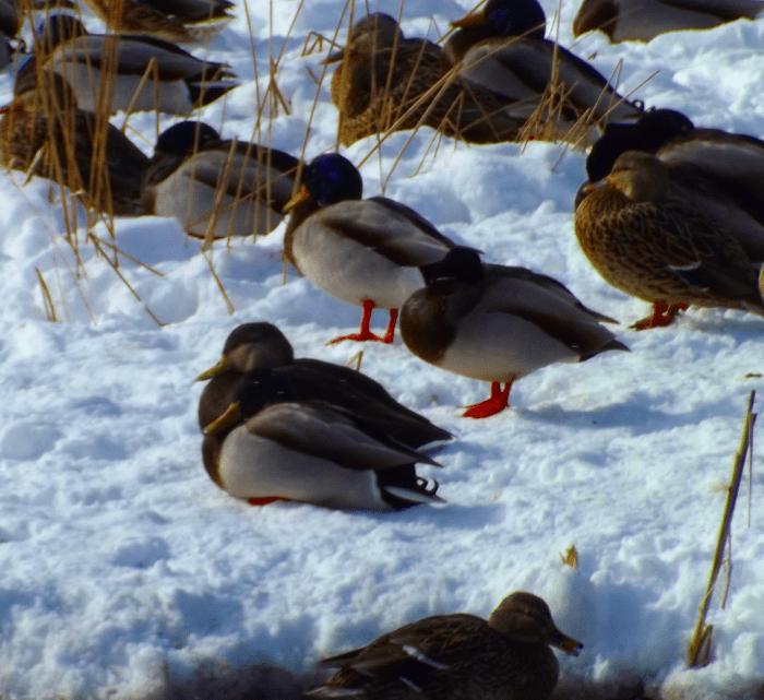 mallard-ducks-on-snow