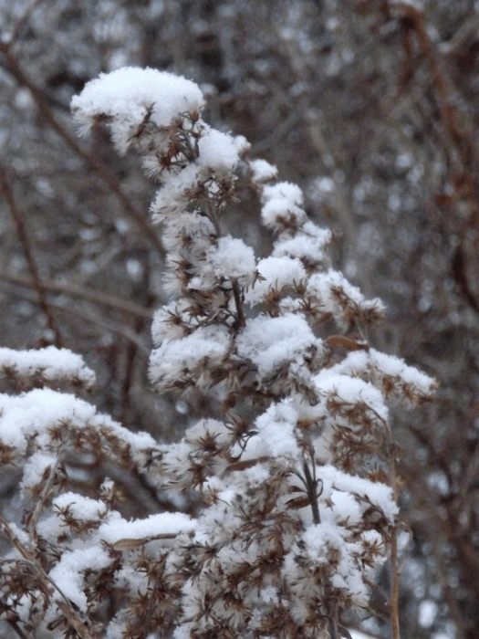 snow-on-goldenrod-plant