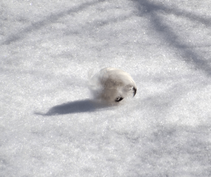 white-feathers-rolling-along-river-ice