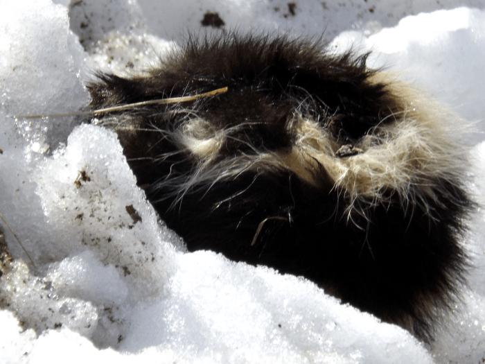 dead-skunk-snow-bank-smelling
