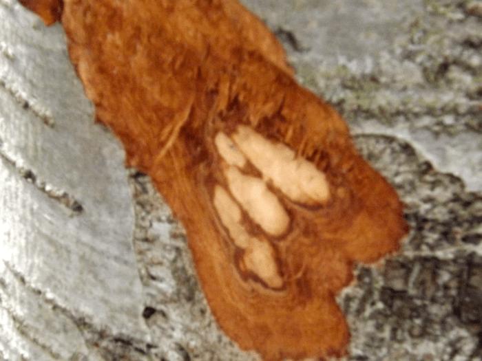 beaver-teeth-marks-tree-trunk-spring