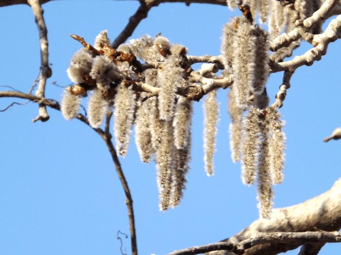 birch-buds-expanding-spring
