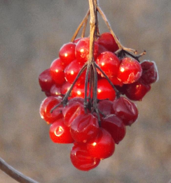 chokecherries-frost-dented-spring