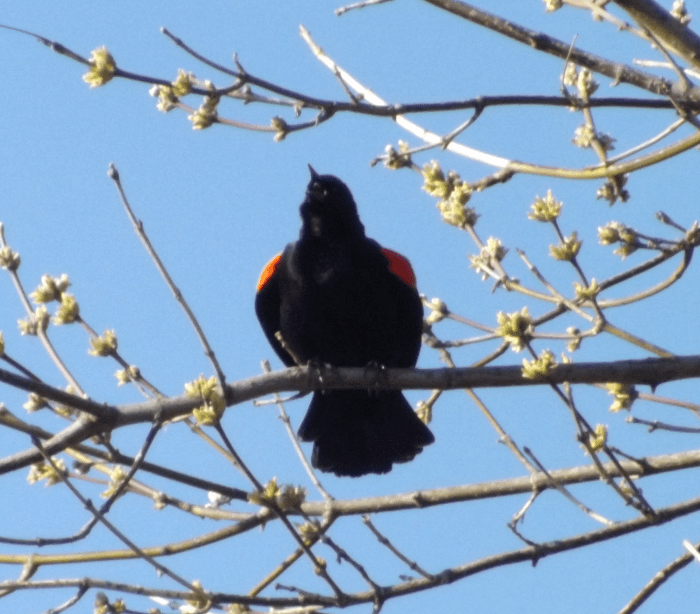 red-winged-blackbird-in-mid-call-spring
