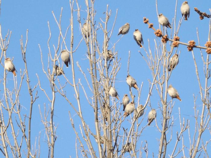 tree-full-of-cedar-waxwings