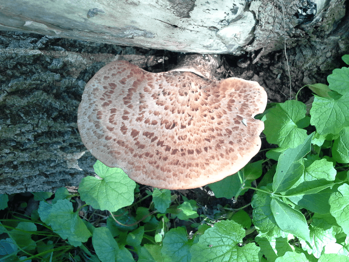 brown-plate-fungus-speckled-spring