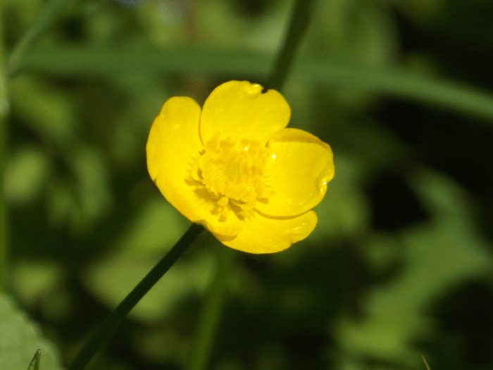 buttercup-profile-wildflower-five-petal-yellow-spring