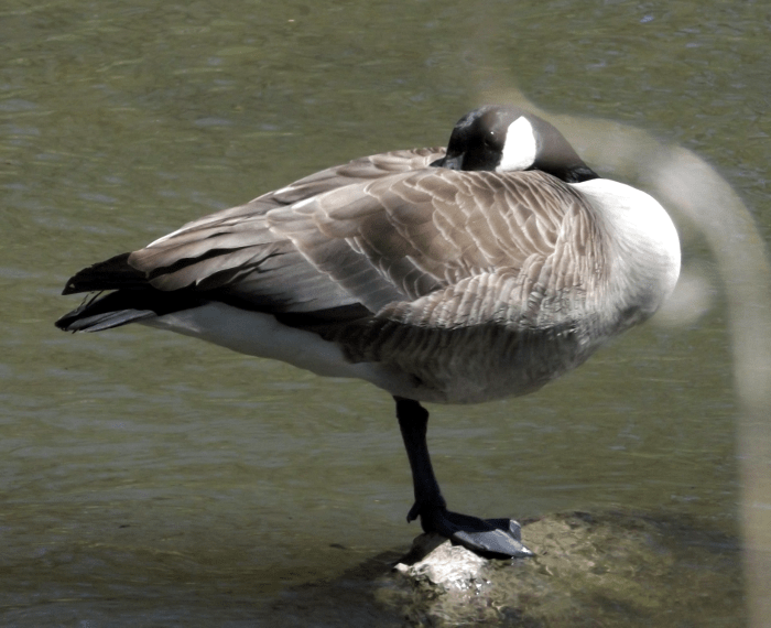canada-goose-standing-one-leg-spring-stone-river