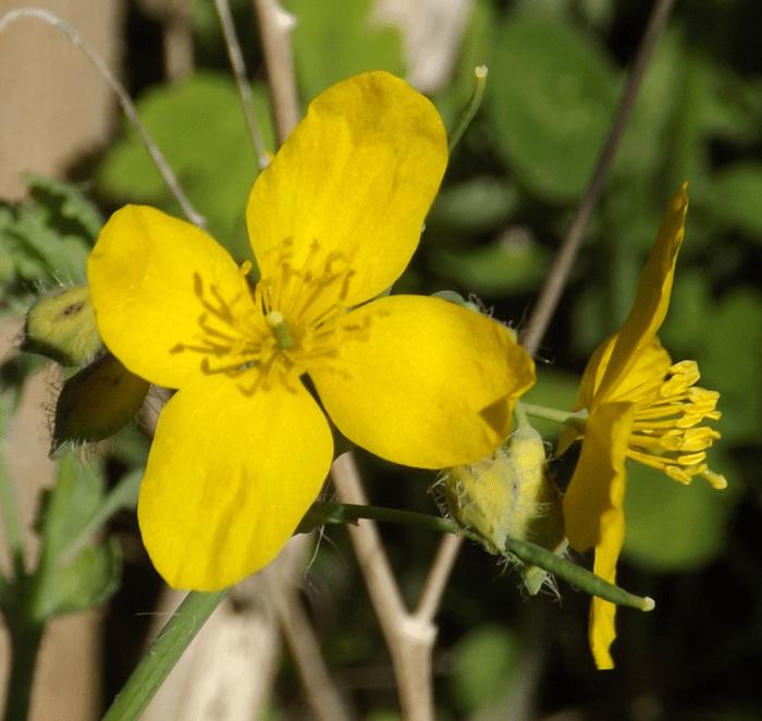 Celandine yellow wildflower four petals front profile a season by celandine yellow wildflower four petals front profile mightylinksfo