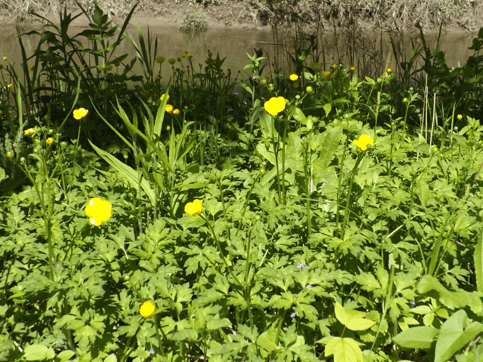 field-of-buttercups-by-riverbank-spring