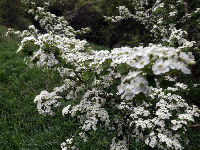 five-petal-white-shrub-blossom-clusters-yellow-centers-wide-view