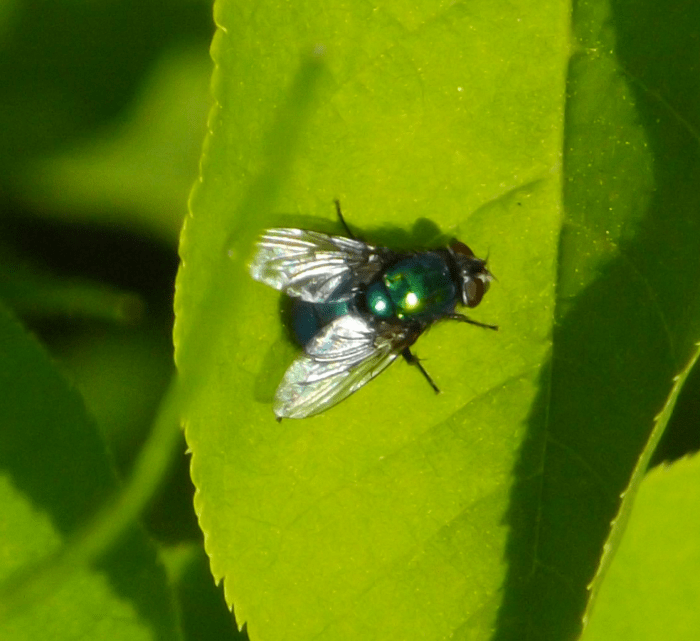 green-fly-leaf-spring