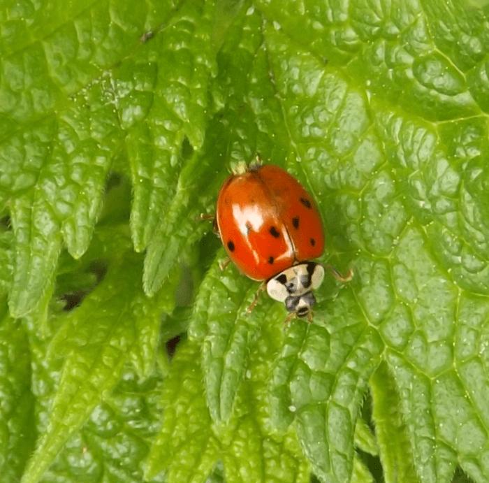 ladybug-green-leaves-spring