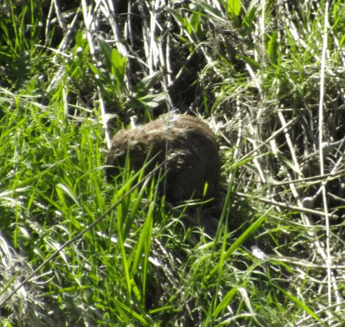 muskrat-eating-grass-riverbank-spring