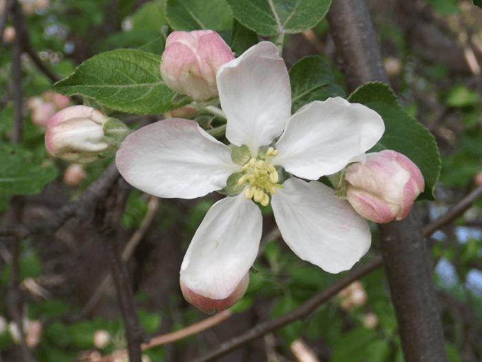 shrub-tree-white-blossom-five-petals-spaced-spring-pink-buds