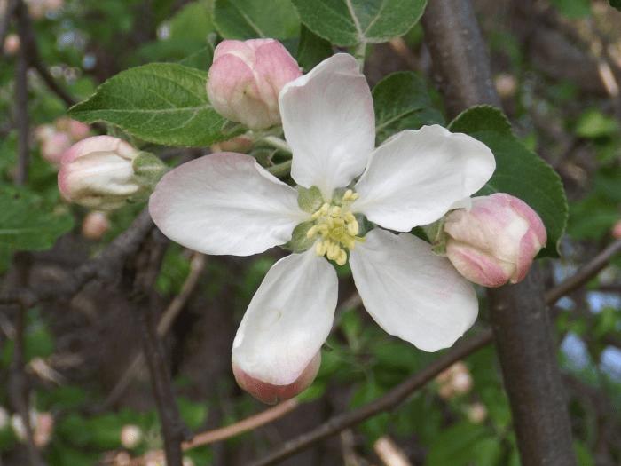Shrub a season by a river shrub tree white blossom five petals spaced spring mightylinksfo