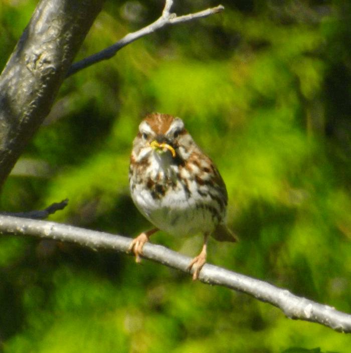 sparrow-food-branch-spring
