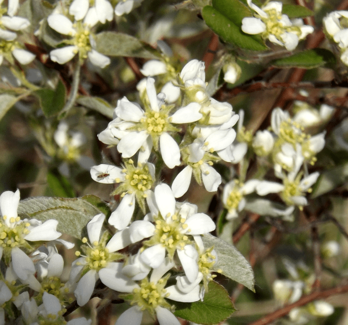 Shrub a season by a river white blossom five petals spring shrub mightylinksfo