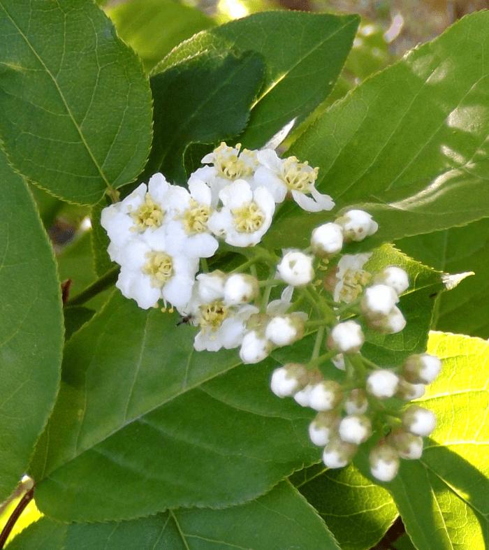 White four petal blossom tree cluster spring a season by a river white four petal blossom tree cluster spring mightylinksfo