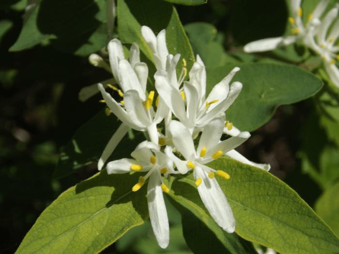 white-honeysuckle-blossom-spring