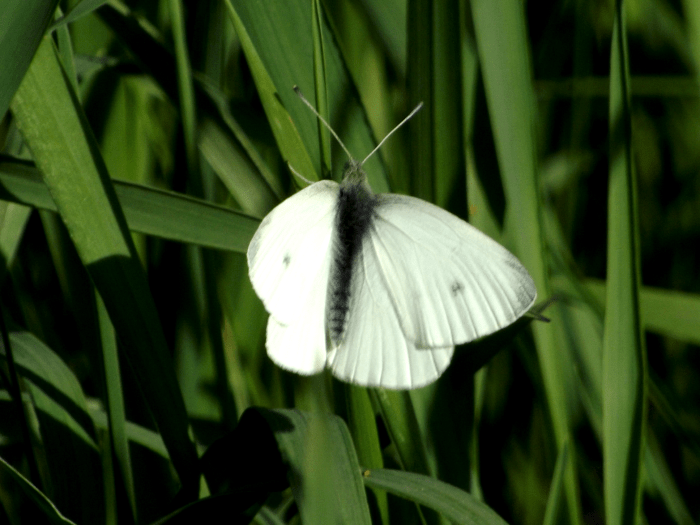 white-moth-dots-wings-spring