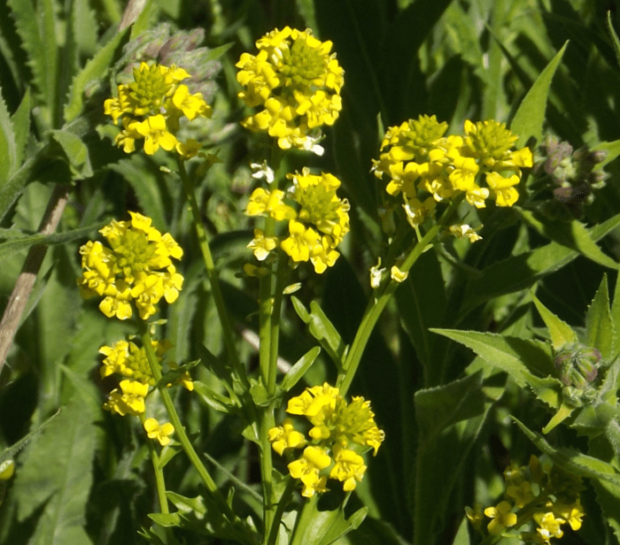 Cluster a season by a river wild mustard four petal cluster yellow spring mightylinksfo