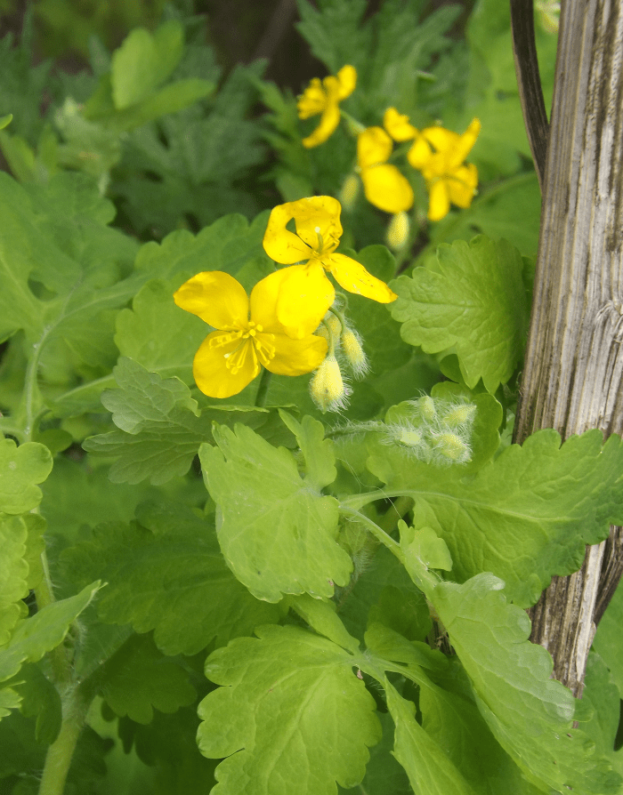 Yellow four petal flower spring a season by a river yellow four petal flower spring mightylinksfo
