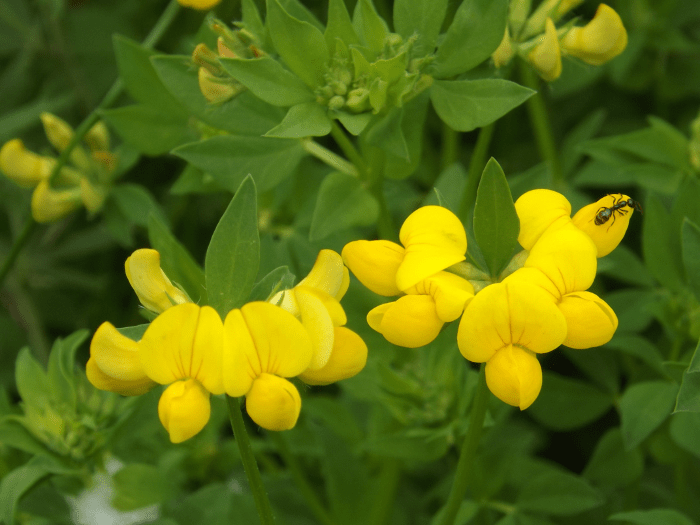 birdsfoot-trefoil-wide-spring-yellow