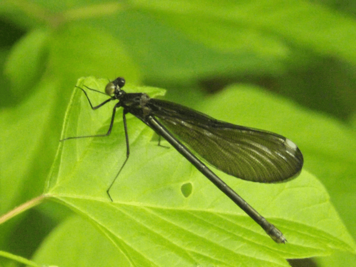 black-dragonfly-damselfly-spring-green-leaf