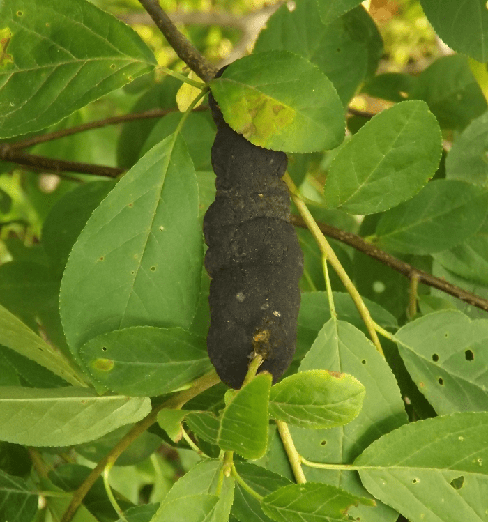 black-knot-diseased-branch-black-lump-tree-summer