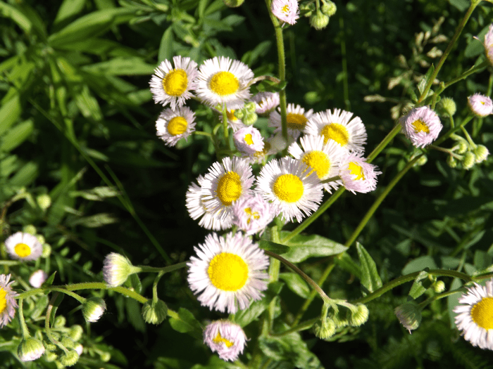 cluster-of-white-asters-pink-underneath-summer