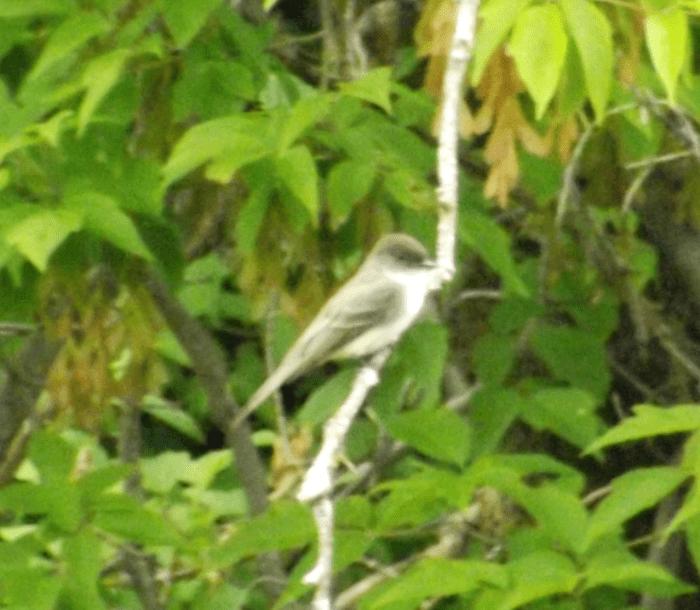 eastern-kingbird-spring-near-weir