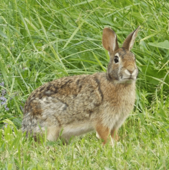 rabbit-notices-approach-of-possible-predator-summer