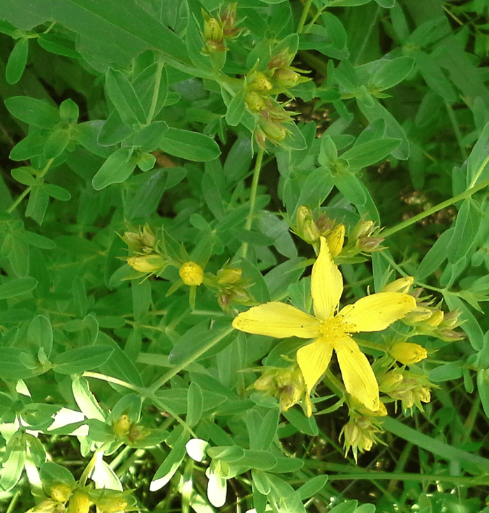 Five petals a season by a river st johns wort emerging summer yellow five petals mightylinksfo