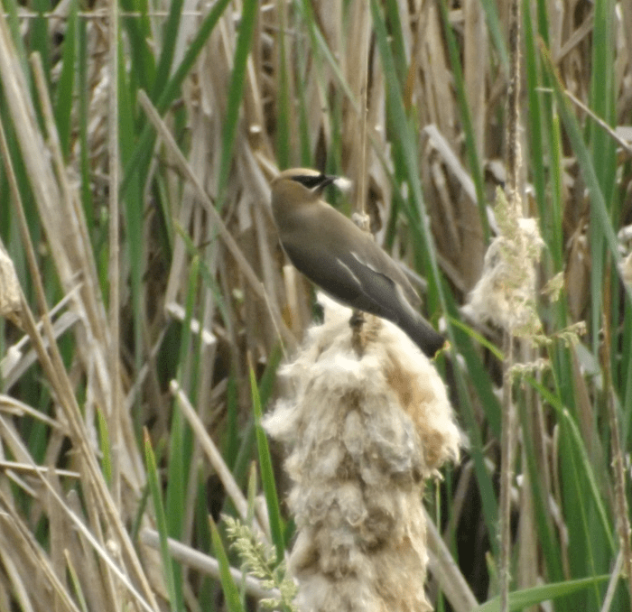 waxwing-reed-tuft-summer-marsh