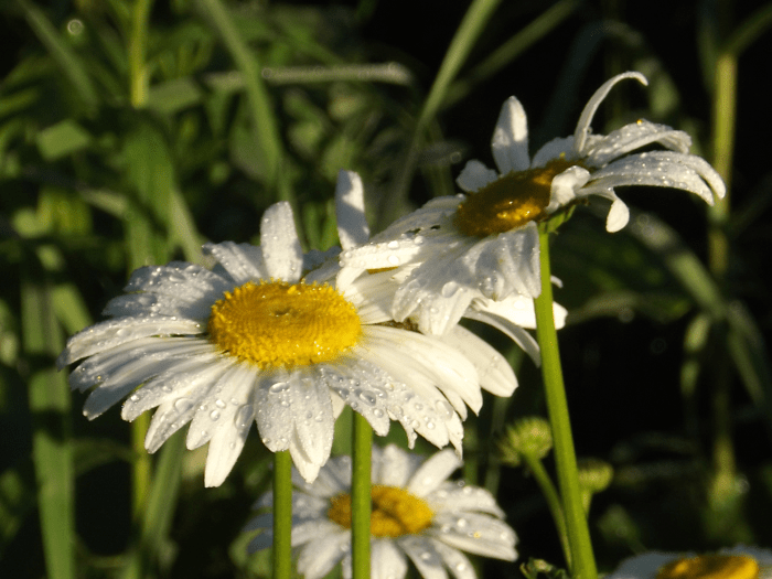 white-asters-raindrops-summer